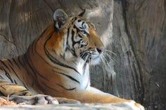 De tijger legt op rots Royalty-vrije Stock Foto's