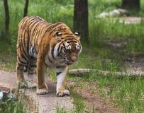 De tijger loopt in het hout Stock Fotografie