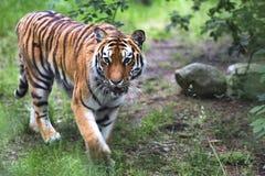 De tijger loopt in het hout Royalty-vrije Stock Foto