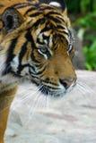 De tijger op Snuffelt rond royalty-vrije stock afbeeldingen