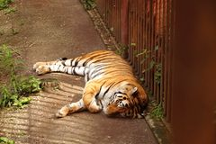 De tijger sluimert in de kooi De zonnige dag van de zomer Royalty-vrije Stock Foto's