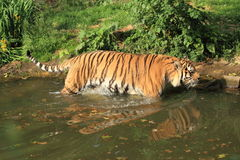 De tijger van Amur Royalty-vrije Stock Foto's