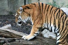 De Tijger van Bengalen Stock Fotografie