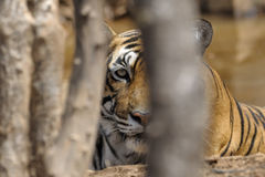 De Tijger van Bengalen Royalty-vrije Stock Afbeeldingen