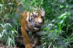 De tijger van Bengalen Royalty-vrije Stock Foto's
