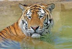 De Tijger van Bengalen stock foto