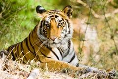 De tijger van Bengalen in Bandhavgargh Park, India Stock Foto