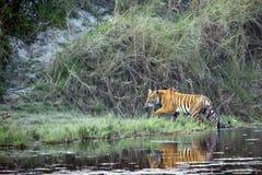 De tijger van Bengalen in Bardia, Nepal Stock Foto's