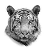De Tijger van Bengalen die op Wit wordt geïsoleerde Royalty-vrije Stock Afbeeldingen
