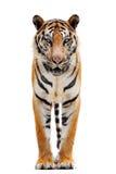 De Tijger van Bengalen die op Wit wordt geïsoleerde Stock Foto
