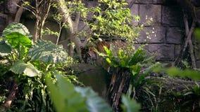 De tijger van Bengalen eet op gras van bos tussen bomen in het aardwild stock footage