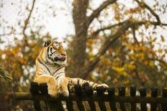 De Tijger van Bengalen in gevangenschap stock afbeelding