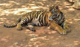 De Tijger van Bengalen het liggen Royalty-vrije Stock Foto
