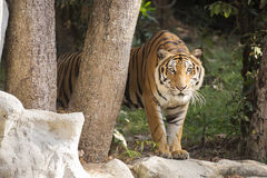 De tijger van Bengalen het lopen Stock Afbeeldingen