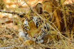 De Tijger van Bengalen het rusten Stock Afbeelding
