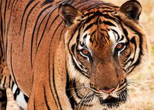 De tijger van Bengalen de roofdier jacht voor prooi stock fotografie