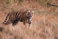 De Tijger van Bengalen (tigra Panthera) Royalty-vrije Stock Foto