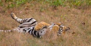 De Tijger van Bengalen (tigra Panthera) Stock Afbeeldingen