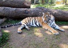 De Tijger van Bengalen - volledig lichaam royalty-vrije stock foto's