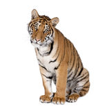 De tijger van Bengalen voor een witte achtergrond stock fotografie