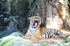 De tijger van de geeuw voelt slaperig in Thailand Stock Foto