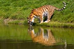 De tijger van Drinkin Stock Afbeeldingen