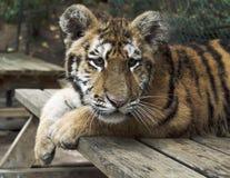 De tijger van puppybengalen, wild dier Royalty-vrije Stock Afbeelding