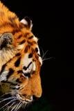 De tijger van Siberië stock foto's