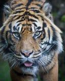 De tijger van Sumatran Stock Foto