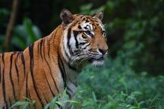De Tijger van Sumatran Stock Afbeelding