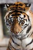 De Tijger van Sumatran Royalty-vrije Stock Fotografie