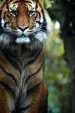 De Tijger van Sumatran Royalty-vrije Stock Foto's