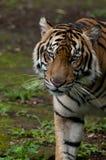 De tijger van Sumatran zeer zeldzaam op hun habitat royalty-vrije stock fotografie