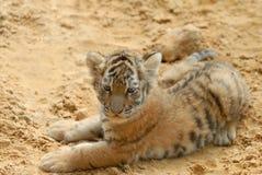 De tijger-welp legt op zand. stock afbeelding