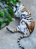 De tijger wordt gespeeld als een kat Royalty-vrije Stock Foto