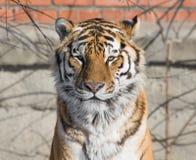 de tijger ziet eruit Stock Afbeelding