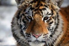 De tijgerin Stock Fotografie