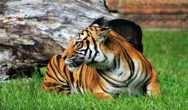 Het rusten van de tijgerin Royalty-vrije Stock Afbeeldingen