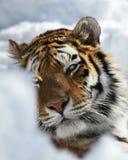 De tijgerportret van Amur Royalty-vrije Stock Foto's