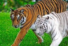 De tijgers van Bengalen Stock Afbeelding