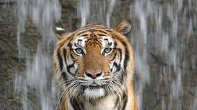 De tijgers van Bengalen op watervalachtergrond stock video