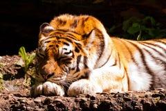 De tijgerslaap van Amur Royalty-vrije Stock Fotografie