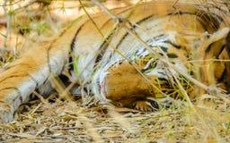 De tijgerslaap van Bengalen Stock Foto's