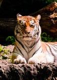De tijgervoorzijde van Amur Stock Afbeeldingen