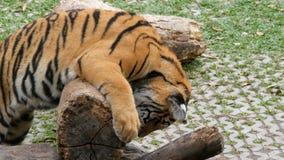 De tijgerwelp speelt op houten login een tijgerdierentuin stock footage