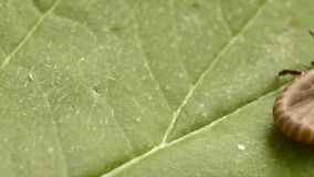 De tik kruipt langs het groene blad stock video