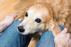 De toegewijde hond bekijkt de eigenaar Royalty-vrije Stock Afbeeldingen