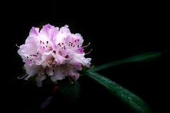 De Toejuiching van rododendronkerstmis op Zwarte Achtergrond Royalty-vrije Stock Foto