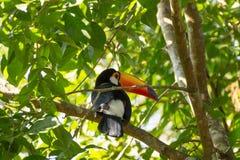 De toekanvogel op de aard in Foz doet Iguazu, Brazilië royalty-vrije stock afbeeldingen