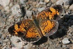 De Toenemende Vlinder van de parel Stock Foto's